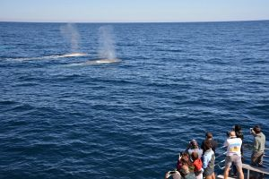 Blue Whale Perth Canyon Expedition - Geraldton Accommodation